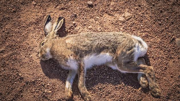 Myslivci na Brněnsku našli mrtvé zajíce a bažanty. Zabil je jed proti hrabošům