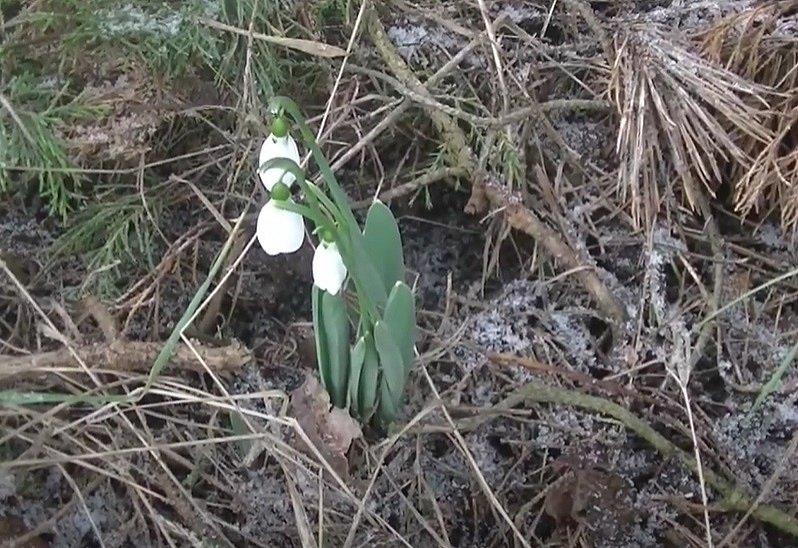 Sněženky v zahradách u Medlánek a Komína nedaleko ZOO Brno.