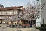 Květy třešně na dvoře Městského divadla v Brně.
