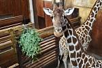 Žirafy síťované si v brněnské ZOO pochutnávají na vánočních stromcích.
