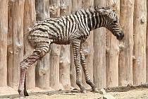 Ve středu odpoledne se ve výběhu brněnské zoo narodilo mládě zebry Chapmanovy. O den později nešťastně zemřelo při potyčce ve výběhu.
