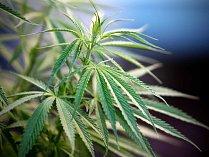 Konopí (Cannabis). Ilustrační foto.