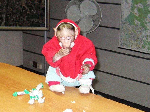 Opička, která pokousala v tramvaji dívku.