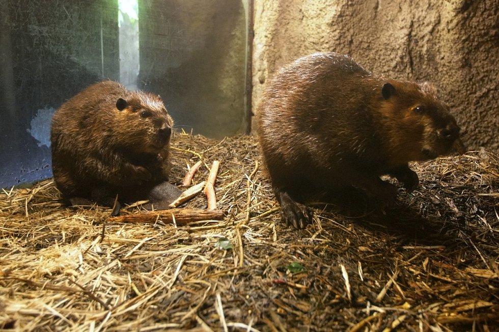 Početná rodina bobrů kanadských z brněnské zoologické zahrady se tento týden rozrostla o další čtyři malé členy.