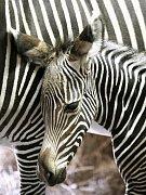 V brněnské zoologické zahradě se narodilo mládě zebry graviho.