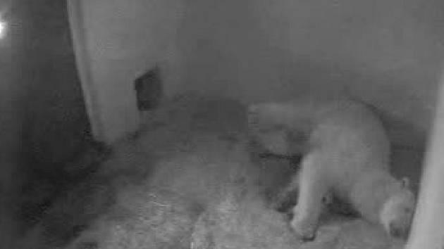 Lední medvědice Cora z brněnské zoo rodí druhé z dvojice mláďat.