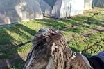 V záchranné stanici pro dravé ptáky Rajhrad přijali v pondělí dva zraněné puštíky obecné.