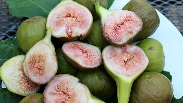 Úroda fíků v Přibicích na Brněnsku. Pěstují tam i další exotické ovoce.