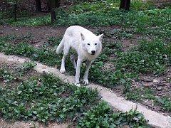 Vlk arktický v areálu Beringie.