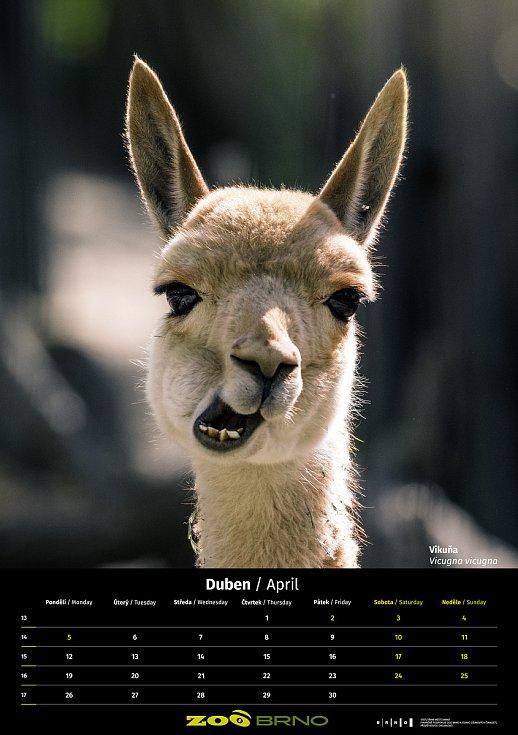Kalendář Zoo Brno pro rok 2021 je tentokrát neprodejný.