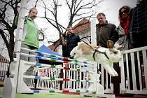 Na exhibiční soutěž vycvičených králíků se přijeli podívat lidé do Rosic na Brněnsku. V sobotu dopoledne si tak mohli prohlédnout několik králičích závodníků, jak skáčou přes překážky nebo do výšky.