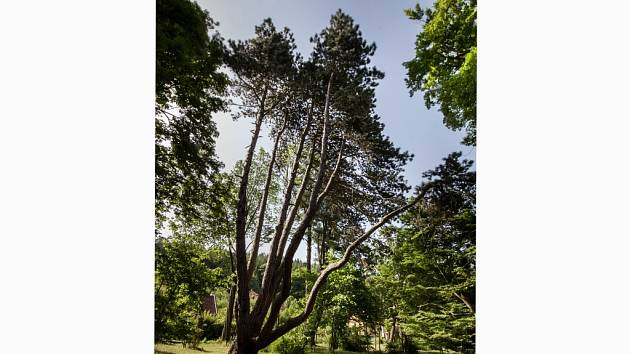 Nový strom roku je z Blanenska. Připomíná pětihlavou saň