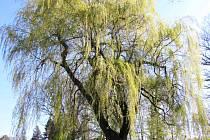 LETITÁ VRBA v novosedelském parku je jedním z mnoha krásných a zachovalých stromů.