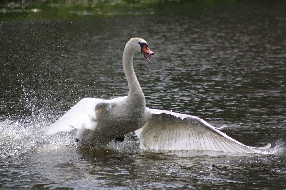 Kroužkování labutí velkých