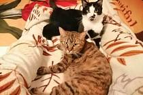 Miky a Čurda z adopce (Láskou ke kočkám Sokolov).