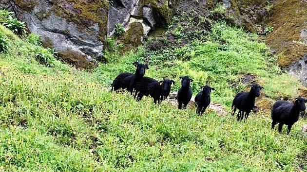 Hrad střeží už i ovce.