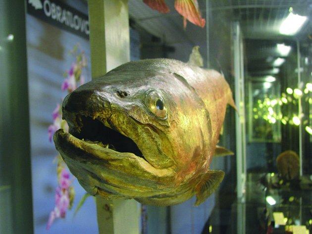 MĚLI jste za to, že není více české ryby, než je kapr? Omyl. I on byl kdysi na většině území vetřelcem. Původně žil pouze v řekách Moravě a Dyji, jinde ho ale lidé vysazovali už v 11. století.