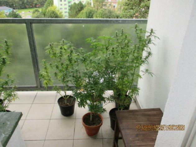 Na balkoně pěstoval muž konopí, kriminalisté zajistili téměř 30 roslin.