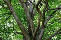 Buk u Krásné Lípy je památný strom buk lesní v Krušných horách.