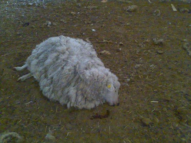 Uhynulá ovce.