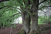 Hřebenské lípy jsou ve finále Stromu roku.