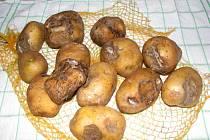 Tyto brambory pocházejí z prodejny Penny Market v Sokolově. V balení nebyl jediný zdravý kus.