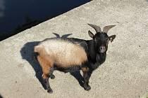 KOZA KAMERUNSKÁ je jedním z nejmenších plemen kozy domácí.
