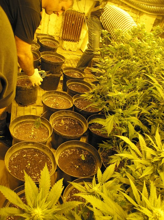 Pěstírna marihuany.