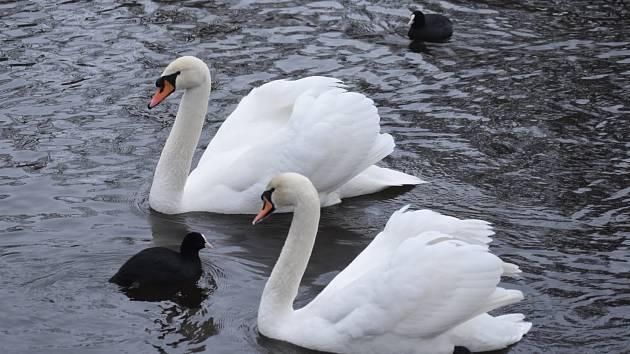 Po řece Ohři se proháněly labutě. Labuť je rod velkých vodních ptáků, blízce příbuzných s husami.
