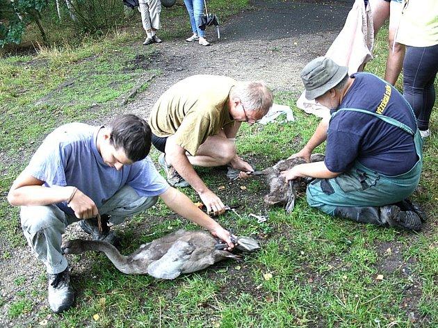 Ochránci zkoumají pohyb labutí.