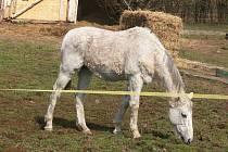 BALÍK krmiva, který má kůň ve výběhu, nechal prý majitel přivézt teprve nedávno.