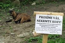 LOKETSKÁ ATRAKCE KOZOO. Zvířata utíkají se svého výběhu, běhají po silnici a jejich provoz je ztrátový. Město Loket v nynější době i přesto dokoupilo nové kozy kamerunské.
