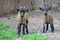 V loketském podhradí mohou lidé spatřit nový zvířecí přírůstek, dvě malá kůzlátka.