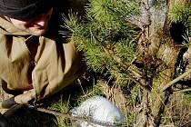 Lesníci opět registrovali krádeže vánočních stromků.