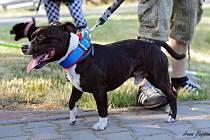 Nebezpečný pes, který útočil v Habartově.
