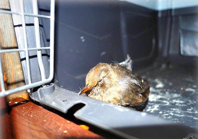 V SOS BOXU v bublavské záchranné stanici Drosera skončila už tři zvířata. Mezi nimi byl i tento malý drozd.