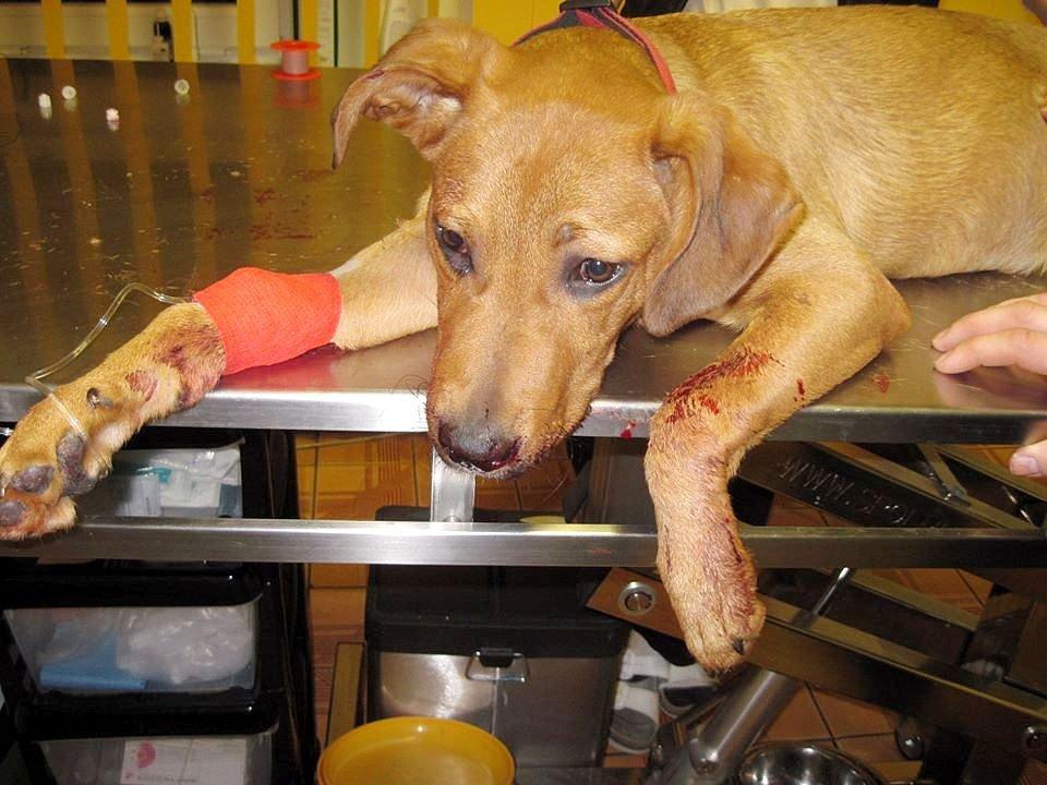 ZUBOŽENÉ teprve sedmiměsíční štěně málem přišlo o život jen kvůli tomu,  že se v bytě vyčuralo.