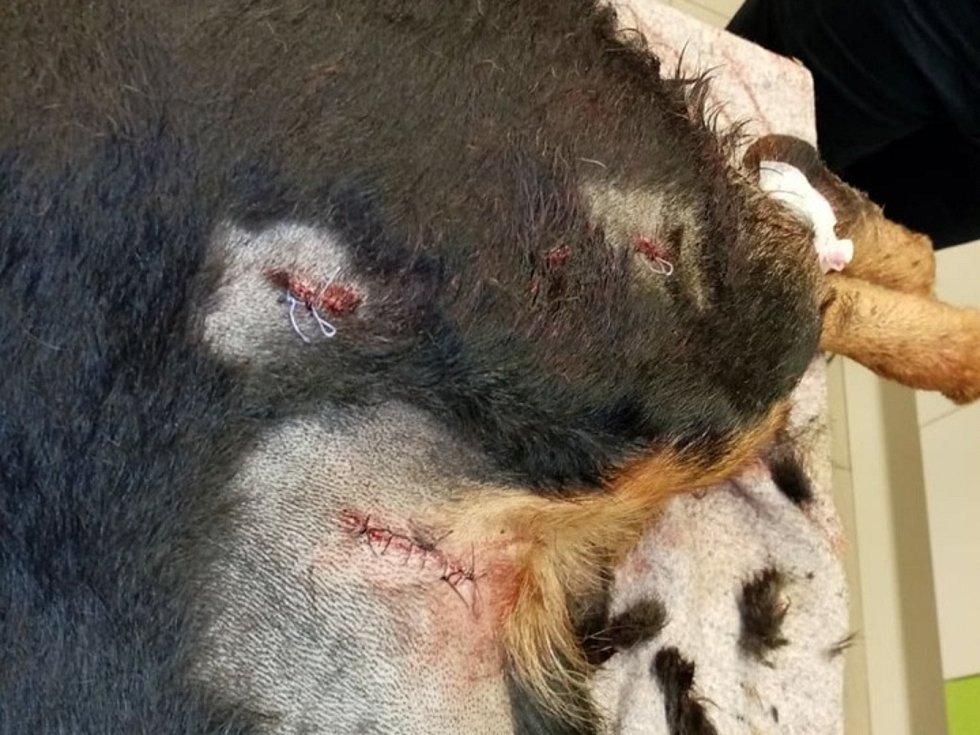 Zraněný pes při ošetření