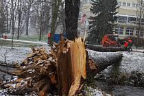 Pracovníci technických služeb při odklízení stromu v parku