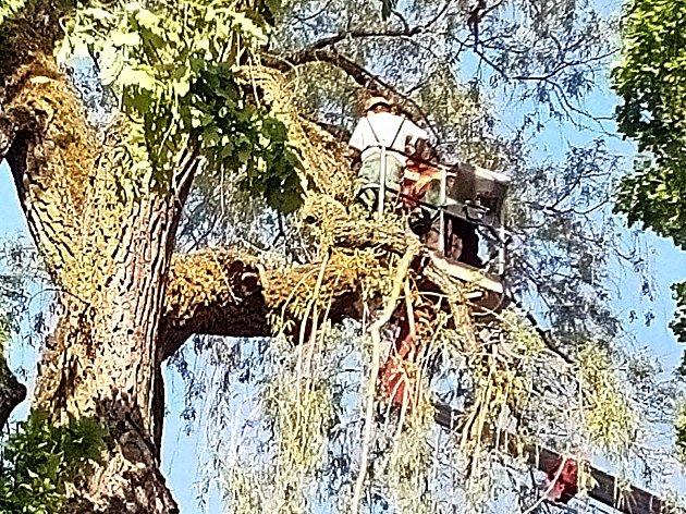 Větve obří vrby v centru Kraslic ohrožovaly kolemjdoucí. Městské lesy se postaraly o prořezávku koruny.