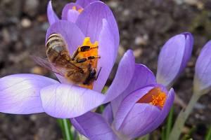 S mírným oteplením se na některých místech regionu objevily včely na šafránu.
