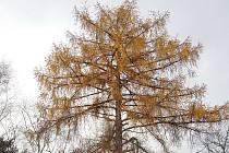Modřín u Stříbrného potoka je památný strom modřín opadavý.