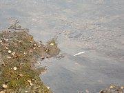V řece Svatavě uhynuly stovky ryb.
