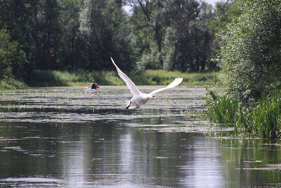 kroužkování labutí