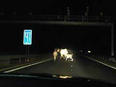 Zvířata se v noci potulovala po dálnici.