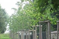 V RÁMCI revitalizace už ve Starém Sedle vznikla například nová lipová alej podél hřbitovní zdi, upraveno bylo i opěrné zdivo u hřbitova.