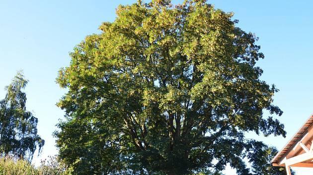 V Heřmanově je nově památný strom, starý je čtvrt století.