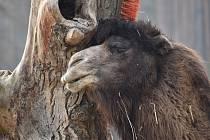 Kmen uschlého stromu, na kterém jsou pevně přidělané kartáče, využívá táborský velbloud s neskrývanou slastí.