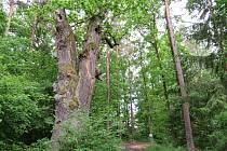 Šest památných stromů na břehu Boreckého rybníka