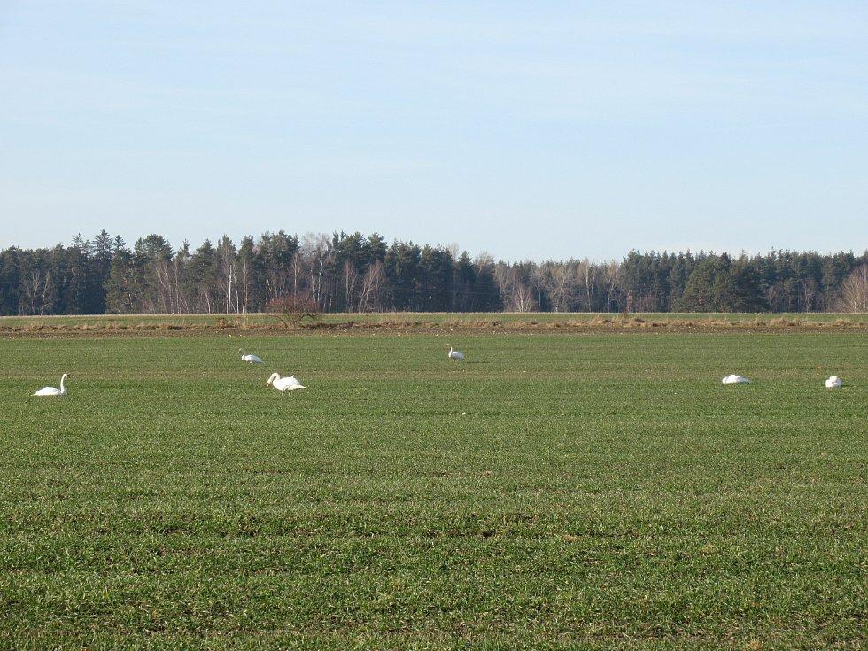 Na polích kolem Tučap a Dvorců na Táborsku už se zase pasou husy velké a jejich majestátní kamarádky labutě. Stejný jev je vidět i u Dívčic na Českobudějovicku. Foto: Petra Poslušná